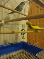 Parakeet Birds for sale in Ames, IA, USA. price: NA