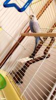 Parakeet Birds for sale in Minneapolis, MN 55433, USA. price: NA