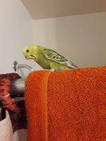 Parakeet Birds for sale in Westminster, CO, USA. price: NA