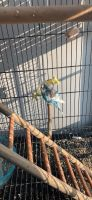 Parakeet Birds for sale in 6606 Warriner Way, Canal Winchester, OH 43110, USA. price: NA
