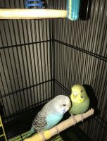 Parakeet Birds for sale in Statesboro, GA, USA. price: NA
