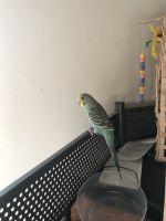 Parakeet Birds for sale in Virginia Beach, VA, USA. price: NA
