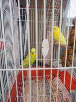 Parakeet Birds for sale in Wichita Falls, TX, USA. price: NA