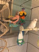 Parakeet Birds for sale in Bothell, WA, USA. price: NA