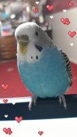 Parakeet Birds for sale in Spokane, WA 99216, USA. price: NA