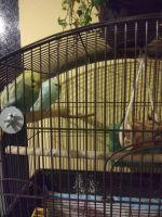 Parakeet Birds for sale in 14 E Notch Dr, Friendship, NY 14739, USA. price: NA