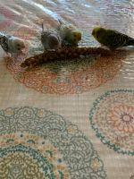 Parakeet Birds for sale in Covington, WA 98042, USA. price: NA