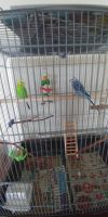 Parakeet Birds for sale in Fall River, MA, USA. price: NA