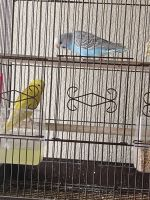 Parakeet Birds for sale in Georgetown, TX, USA. price: NA