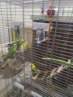 Parakeet Birds for sale in Hartford, CT, USA. price: NA