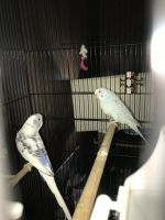 Parakeet Birds for sale in 233 Fitch St, Syracuse, NY 13204, USA. price: NA