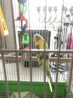 Parakeet Birds for sale in Brookline, MA, USA. price: NA