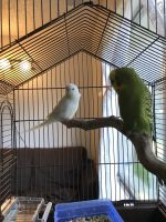 Parakeet Birds for sale in NW Riverside Dr, Kansas City, MO 64150, USA. price: NA