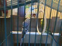Parakeet Birds for sale in Detroit, MI 48201, USA. price: NA