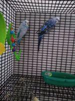 Parakeet Birds for sale in Davenport, FL, USA. price: NA
