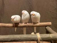 Parakeet Birds for sale in Franklin, NC 28734, USA. price: NA