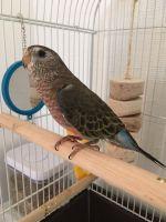 Parakeet Birds for sale in Alameda, CA, USA. price: NA