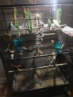 Parakeet Birds for sale in Plano, IL 60545, USA. price: NA
