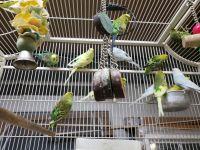 Parakeet Birds for sale in Newburgh, NY 12550, USA. price: NA