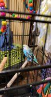 Parakeet Birds for sale in Pharr, TX 78577, USA. price: NA