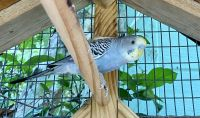 Parakeet Birds for sale in Fort Myers, FL, USA. price: NA