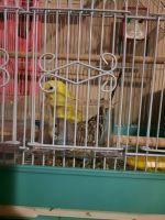 Parakeet Birds for sale in Braselton, GA, USA. price: NA