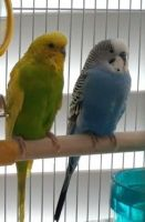 Parakeet Birds for sale in Temecula, CA, USA. price: NA