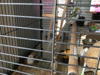 Parakeet Birds for sale in Bolingbrook, IL 60490, USA. price: NA