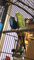 Parakeet Birds for sale in Helena, MT, USA. price: NA