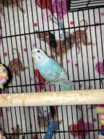 Parakeet Birds for sale in Rancho Cucamonga, CA, USA. price: NA
