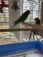 Parakeet Birds for sale in McDonough, GA, USA. price: NA