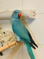 Parakeet Birds for sale in Las Vegas, NV, USA. price: NA