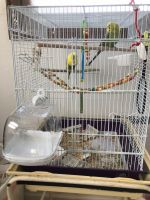 Parakeet Birds for sale in New Castle, PA, USA. price: NA