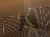 Parakeet Birds for sale in Fuquay-Varina, NC, USA. price: NA