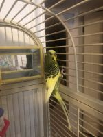 Parakeet Birds for sale in Idaho Falls, ID, USA. price: NA