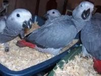 Parrot Birds for sale in Kansas City, MO, USA. price: NA