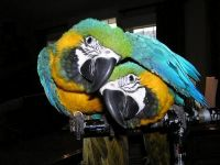 Parrot Birds for sale in Athens, Lexington, KY 40509, USA. price: NA