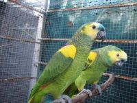 Parrot Birds for sale in Huntsville, AL, USA. price: NA