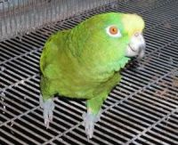 Parrot Birds for sale in Chandler, AZ, USA. price: NA