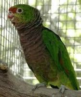 Parrot Birds for sale in Des Moines, IA, USA. price: NA