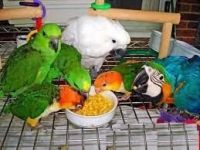 Parrot Birds for sale in Anchorage, AK, USA. price: NA