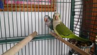 Parrot Birds for sale in Campbellsport, WI 53010, USA. price: NA