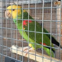 Parrot Birds for sale in East Los Angeles, CA, USA. price: NA