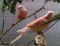 Parrot Birds for sale in Commerce, TX 75428, USA. price: NA