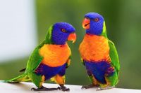 Parrot Birds for sale in San Jose, CA, USA. price: NA