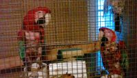 Parrot Birds for sale in Avella, PA 15312, USA. price: NA