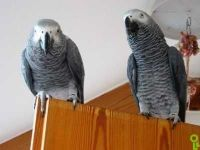 Parrot Birds for sale in Los Angeles, CA, USA. price: NA