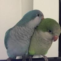 Parrot Birds for sale in Akeley, MN 56433, USA. price: NA