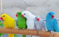 Parrot Birds for sale in Nashville, TN, USA. price: NA