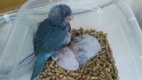 Parrot Birds for sale in Kissimmee, FL, USA. price: NA